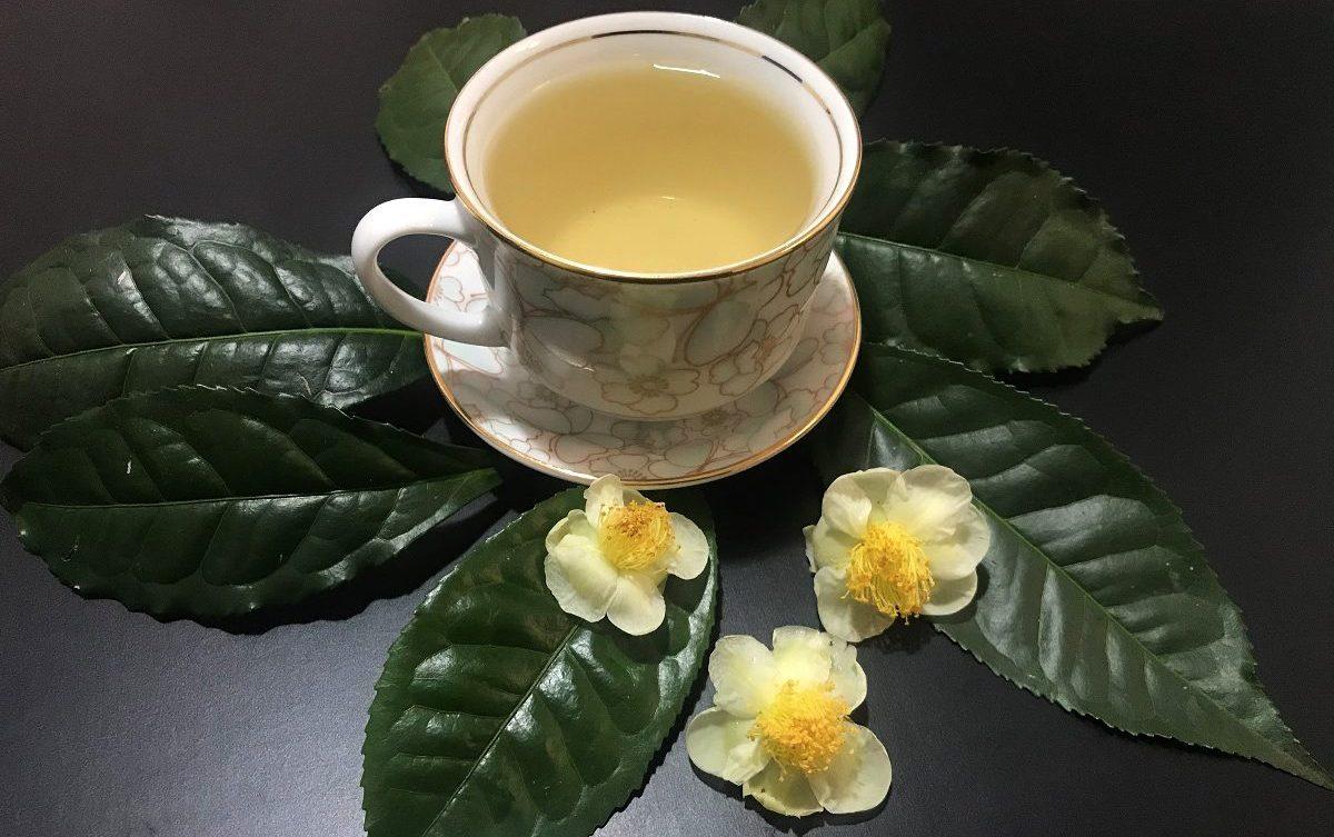 Camellia sinensis mudas